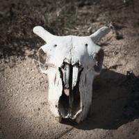 Goats skull