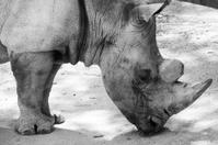Rhinoceros impressive
