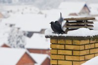 blue eyed crow on the cold
