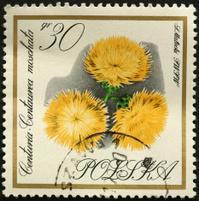 Centaurea moschata (Sweet Sultan) yellow flower