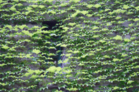 window hidden by ivy