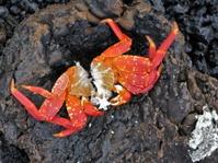 Dead Crab on Lava Rock
