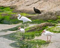 White heron (Ardea herodias) and ibis (Eudocimus albus)