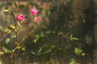 dark rosebud
