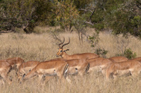 Impala Antelopes in South Africa