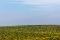 Orchard of Navel Orange Trees
