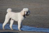 gracious white poodle