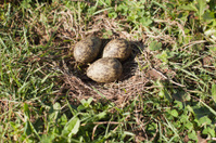 Plover Eggs in Nest
