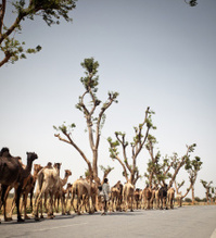 Caravan of Indian Camels going for Fair in Pushkar Rajasthan