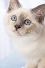 Closeup of bluepoint Birman kitten.