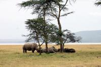 herd of white rhinoceros