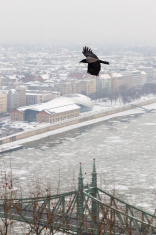 Crow over the city