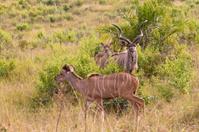 Kudu Antelopes in South Africa
