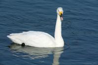 Calling Whooper Swan