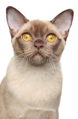 Burmese cat portrait on white background
