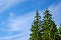 pines under deep blue sky