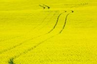 Tracks Through Canola Field