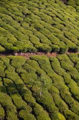 tea plantation in munnar ( india )