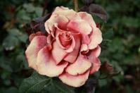 moroccan rose