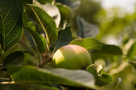 Apple under the sun shine