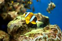 Small anemonefish