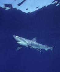 Blue shark swimming gracefully in deep ocean waters