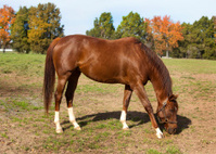 Thoroughbred Racehorse on Farm Grazing