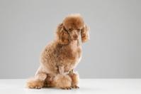 Dog - MIniature poodle