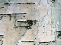 birch cortex