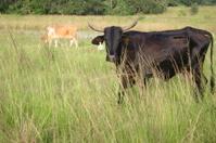 bull staring