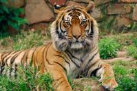 Tiger staring into lens