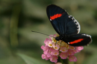 the ecuadorian butterfly sitting on flower