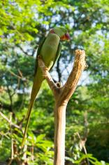 Parrot Parakeet close-up