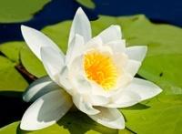 closeup white lily