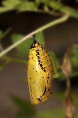 butterfly chrysalis
