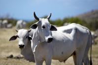 White cow in field