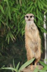 suricate portrait