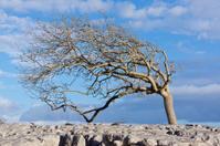 Single windswept tree on limestone pavement.
