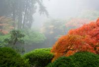 Japanese Maple on foggy day