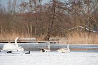 couple of swans in the winter