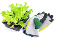 Seedling of Lollo Bionda Lettuce Salat with garden glove