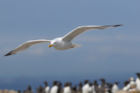 Seagull, Larus ridibundus