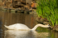 Mute Swan eating grass in pond