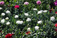 Japanese Carnations