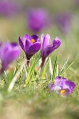 springtime with blooming crocus