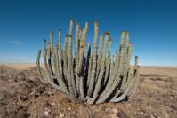 cactus in namib desert