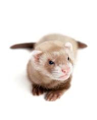 Ferret kit (4 weeks) on white background