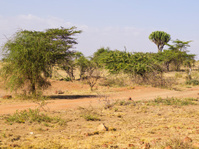 Kenya bush