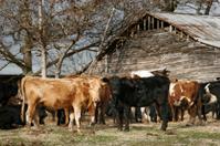 Carolina Cattle