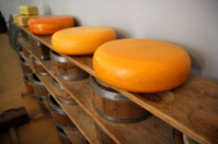 Whole cheeses on a wooden shelve refined in Gouda Holland